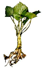 picture of a wasabi plant